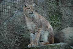 A large, menacing, spotted lynx looks attentively stock image