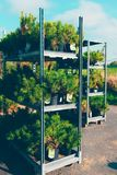 Large carts with dwarf pines in a garden shopping center, Finland. Large metallic shelves with dwarf coniferous pots stock photo