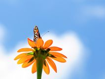 Large Mexican Sunflower Stock Photography