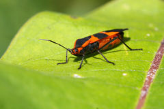 Large Milkweed Bug Royalty Free Stock Photos