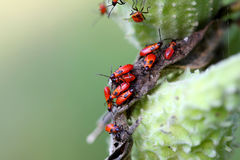 Large Milkweed Bug Nymphs Stock Photo
