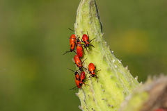 Large Milkweed Bug Nymphs Royalty Free Stock Photography