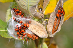 Large Milkweed Bug Nymphs. A colony of nymphs of the large milkweed bug (Oncopeltus fasciatus) feeding in the silk of a milkweed plant.  These bugs are often Stock Images