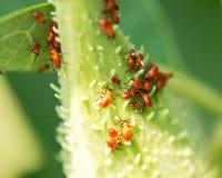 Large milkweed bug nymphs, Oncopeltus fasciatus, on seed pod of the common milkweed. Asclepias syriaca royalty free stock image
