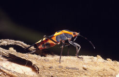 Large Milkweed Bug (Oncopeltus fasciatus) Royalty Free Stock Photo