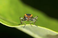 Large milkweed bug with warning coloration on a milkweed leaf. Large milkweed bug, Oncopeltis fasciatus, with warning coloration at the Belding Wildlife stock image