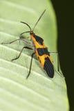 Large milkweed bug with warning coloration on a milkweed leaf. Large milkweed bug, Oncopeltis fasciatus, with warning coloration at the Belding Wildlife royalty free stock photos