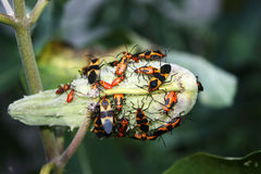 Large Milkweed Bugs on a Milkweed Seed Pod Royalty Free Stock Photography