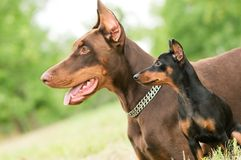Large and miniature dobermans Stock Images