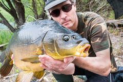 Fishing adventures, carp fishing. Mirror carp, angler with a big fishing trophy. Large mirror carp Cyprinus carpio in fisherman`s hands, taken with the technique royalty free stock photos