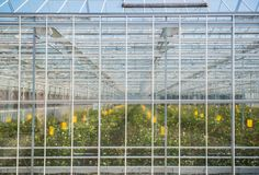 Greenhouse with rose flowers. Large misted glass wall of the greenhouse with flowers stock image