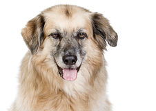 Large Mixed Breed Dog against White Background Stock Photos