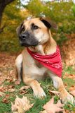 Large mixed breed dog in Autumn Stock Image