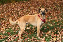 Large mixed breed dog in Autumn leaves Stock Photo