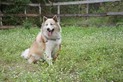 Large mixed breed dog with blue eyes smiling and sitting on the flower field. In outdoor dog park royalty free stock images