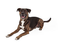 Large Mixed Breed Dog laying to Side Royalty Free Stock Photos