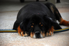 Large mongrel dog. Royalty Free Stock Image