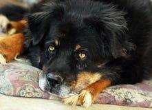 Large mongrel dog. Large mongrel dog shaggy with long hair who lives outside Royalty Free Stock Image