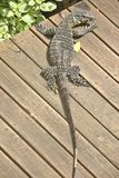 Large monitor Lizard on a boardwalk. Australian large monitor Lizard sunbathing on a boardwalk in the backyard. With its head to the side Looking backwards Royalty Free Stock Photos