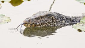 Large monitor lizard in canal Stock Image