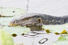 Large monitor lizard in canal Royalty Free Stock Images