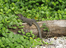 Large monitor lizard on the grass Stock Photos