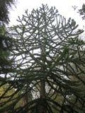 Large Monkey Puzzle Tree Royalty Free Stock Photography