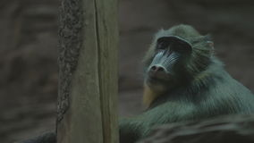 Large monkey sitting on a tree and looks stock video