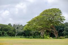 Large monkeypod tree, Albizia saman, in Hawaii. Large monkeypod tree, Albizia saman, in Oahu, Hawaii growing in a field at the edge of a forest leaning towards Stock Image
