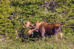 Large Moose. Large Adult Bull Moose At Edge Of Boreal Forest, Brainard Lake Recreation Area, Colorado stock photos