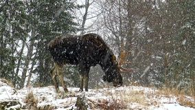 A large moose in a snow storm stock footage