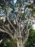 Large Moreton Bay Fig Tree, Sydney, Australia Stock Images