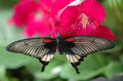Large Mormon (papilio Memnon) On Red Flower 2 Royalty Free Stock Photography