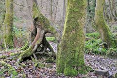 Moss covered beech tree trunks with twisted roots in a misty winter forest Stock Images