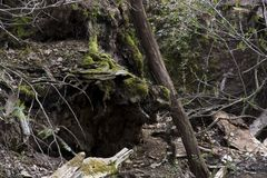 Mossy rock and vines. A large moss covered rock in the forest with vines showing new spring growth Royalty Free Stock Photography