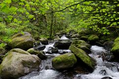 Large moss covered stones in a mountain stream. Large lush moss covered stones in a mountain stream. Spring leaves bud in new growth along a forest stream royalty free stock image