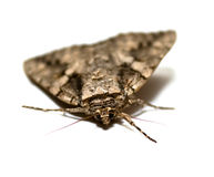 Large Moth Royalty Free Stock Photography