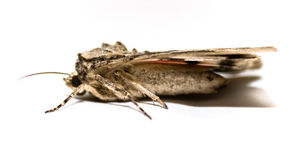 Large Moth royalty free stock images