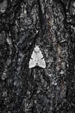 Large moth on bark of  tree Royalty Free Stock Photo