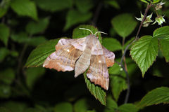 A large moth on the leaves Stock Photo