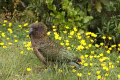 Large mountain parrot Kea, Nestor notabilis,  New Zealand South Island Royalty Free Stock Image
