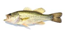 Large-mouth Bass Stock Photography