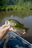 Large mouth bass Stock Images