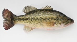 Large Mouth Bass Royalty Free Stock Photo