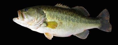 Large Mouth Bass. A close-up image of a 6 lb large mouth bass against a black background Stock Image