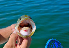 Large mouth bass Royalty Free Stock Image