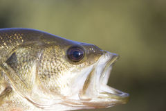 Large Mouth Bass. Head shot close up Royalty Free Stock Image