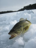 Large-mouth Bass on Ice. A large-mouth bass on top of ice on a frozen lake Stock Photos