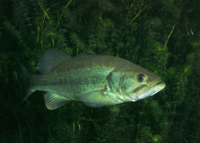Large Mouth Bass - Vortex Springs. A Largemouth Bass, Micropterus salmoides, floats motionless with hydrilla plants as a back drop under the scuba diving entry Stock Photo