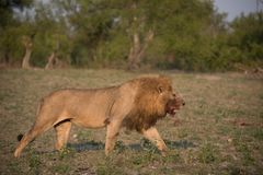 A large, muddy male lion striding across a grassy landscape. A horizontal, full length, side view, colour photograph of a male lion, Panthera leo, with a bloody Stock Photography